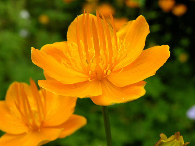 Оранжево-желтые цветки
