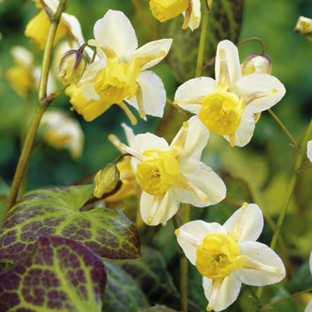 Весной листья красной или бронзовой окраски