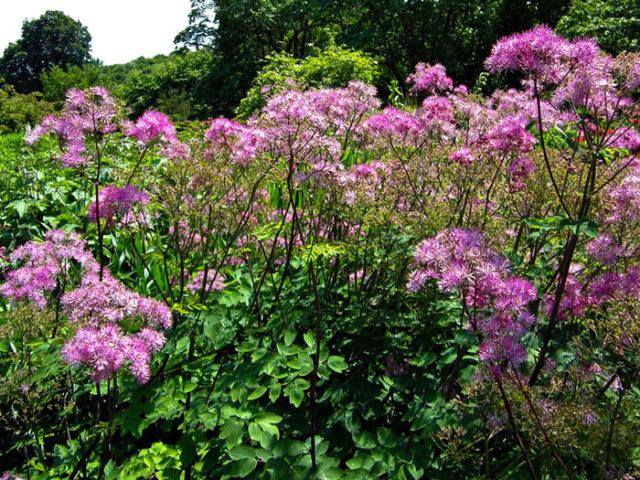 Многочисленные пушистые метельчатые соцветия