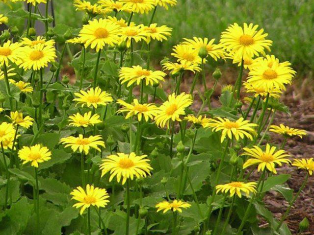 Звездчатые лимонно-желтые цветки