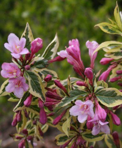 Крупные карминово-розовые цветки