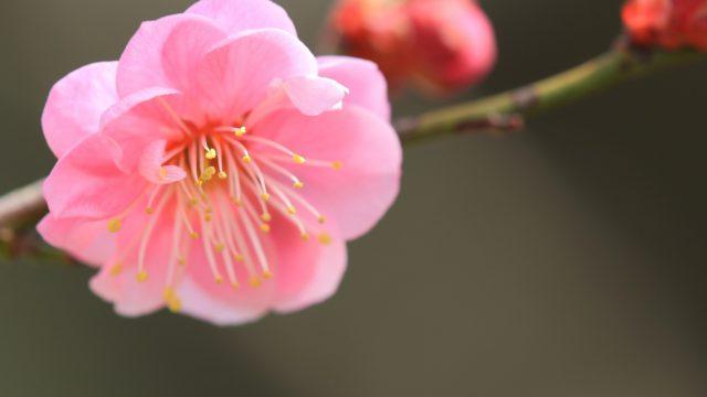 Душистые розовые цветки