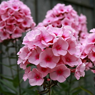 Венчики бело-розовые