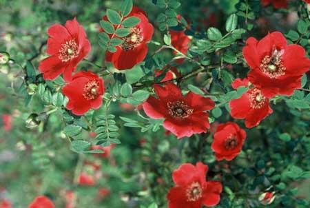 Ярко-малиновые простые цветки