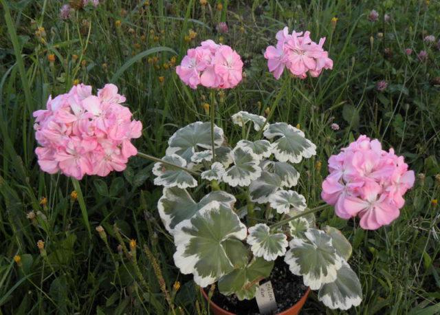Пастельно-розовые махровые цветки
