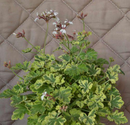 Серо-зеленые листья с пряным запахом