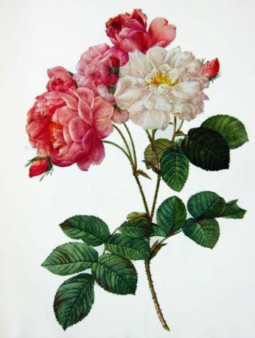 Цветки светло-розовые