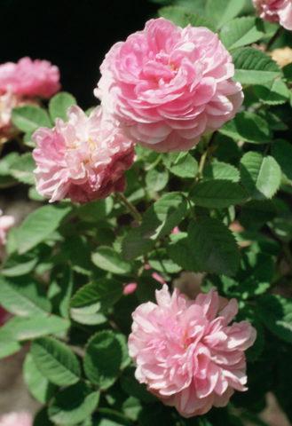 Цветки на дуговидных стеблях обильные