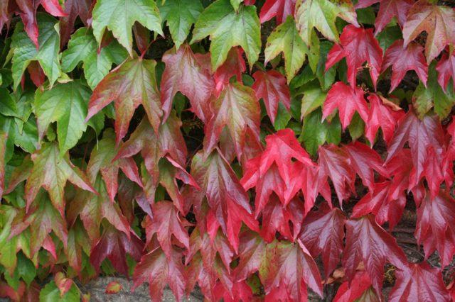 Темно-зеленые (алые и малиновые осенью) листья