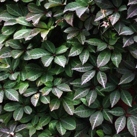 Темно-зеленые бархатистые листья