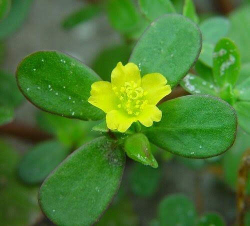 P. oleracea