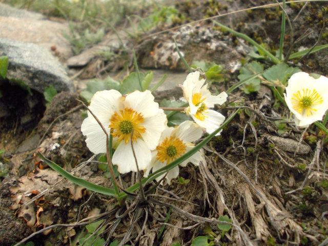 Молочно-белые цветки
