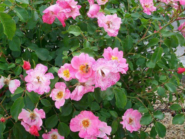 Цветки диаметром 11 см, махровые, квадратные