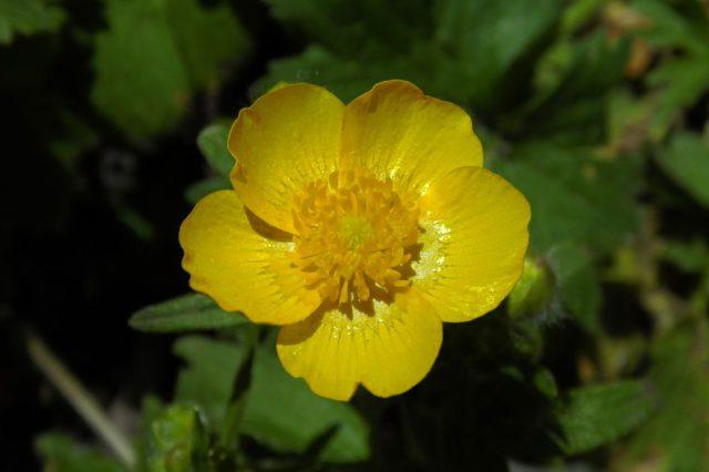 Махровые желтые цветки