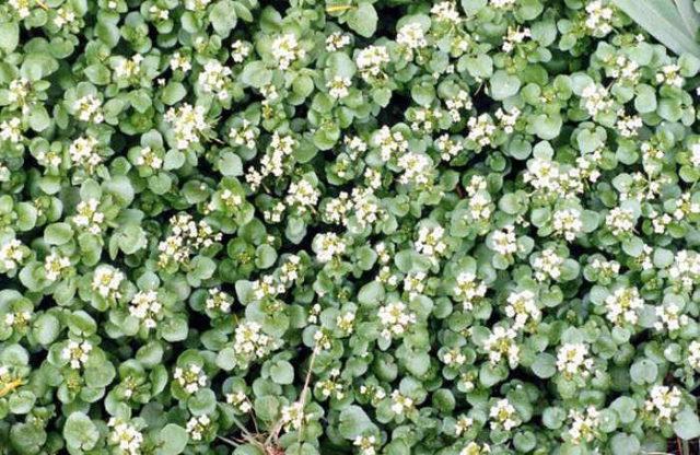 Полуводный травянистый многолетник