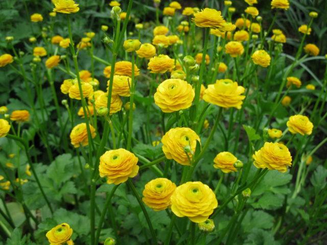 Полумахровые цветки