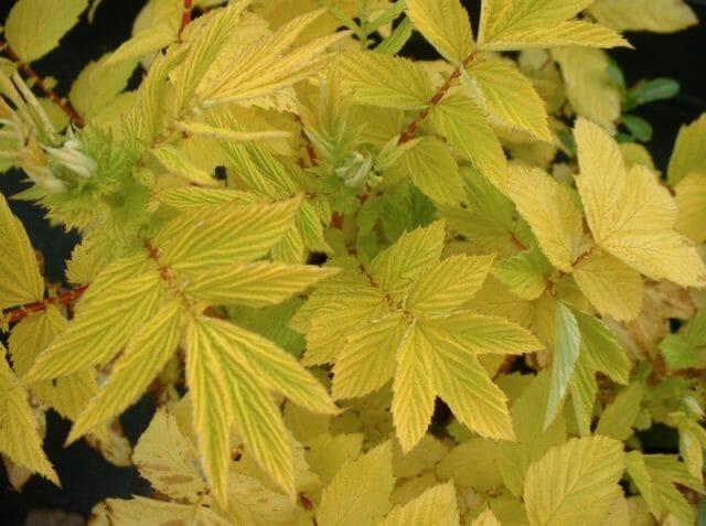 Сорт с золотистой листвой