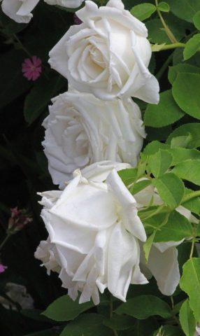Голенастый кустарник с обильной кожистой листвой