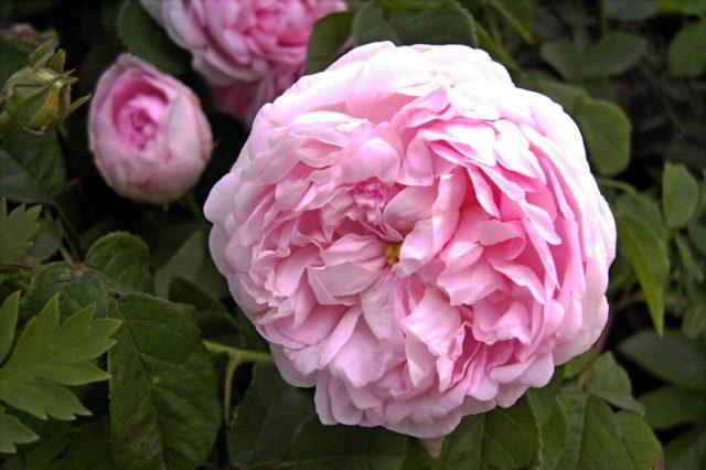Белые с розовым румянцем цветки