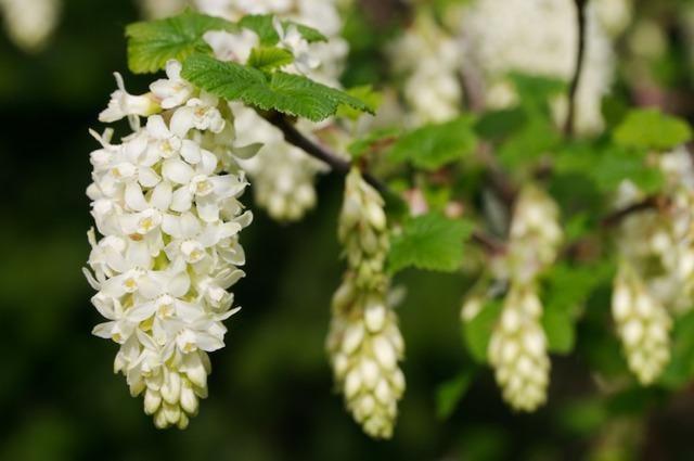 Соцветия с белыми венчиками
