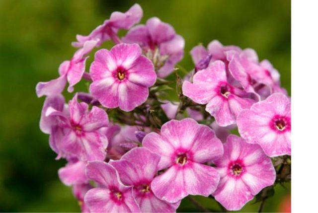 Цветки темно-розовые с белым центром