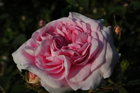 Лепестки мягко-розовые