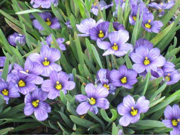 Маленький сорт с лиловыми или фиолетовыми чашевидными цветками