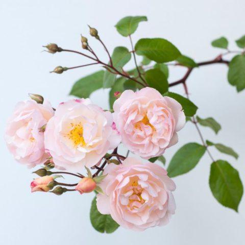 «Мох» густой, цветки белые