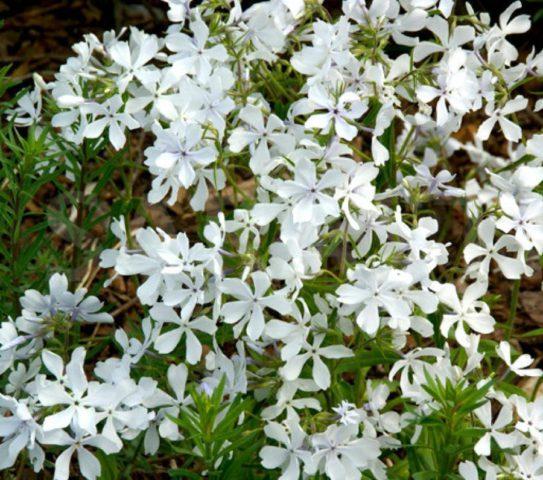 Мощные побеги с бледными холодно-голубоватыми цветками