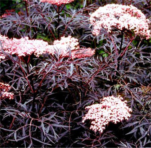 Сорт с тонко рассеченными пурпурно-черными листьями