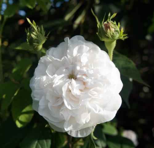 Чисто-белые махровые цветки