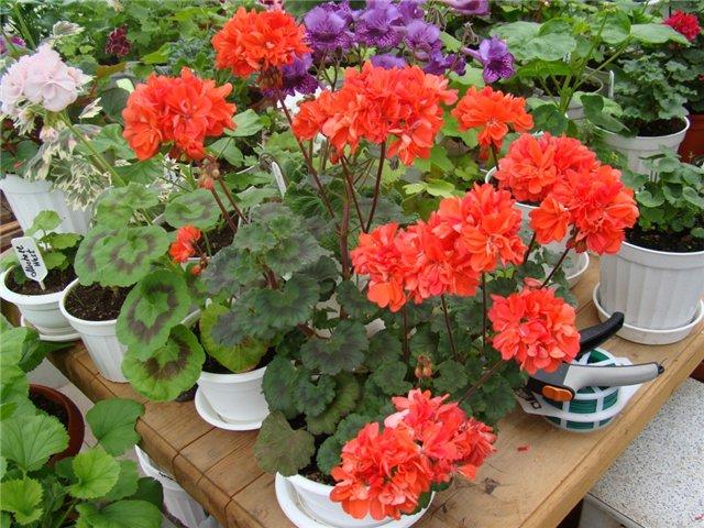 Яркие оранжево-красные махровые цветки