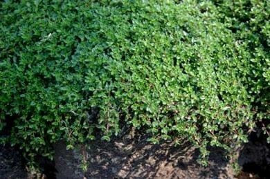 Чабер прутьевидный