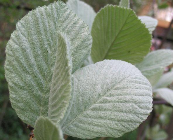 Молодая листва серебристо-белая