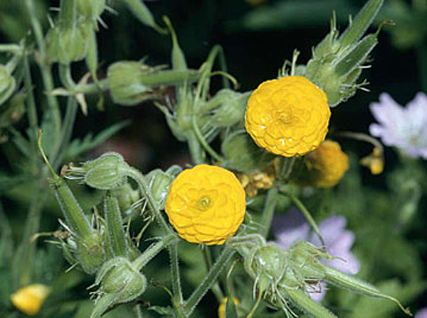 Группы золотисто-желтых махровых цветков