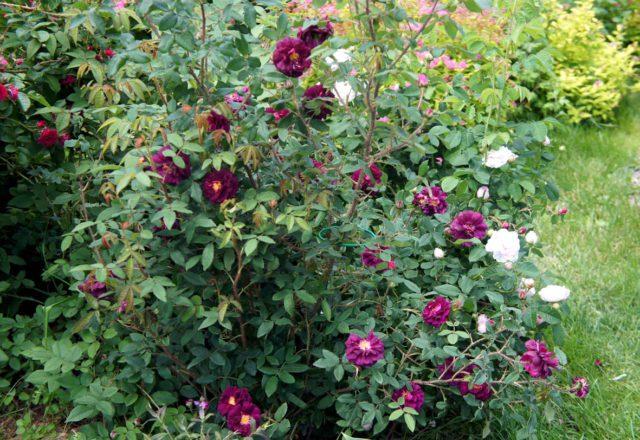 Бархатистые темно-бордово-лиловые цветки