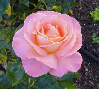 Венчики мягко-розовые