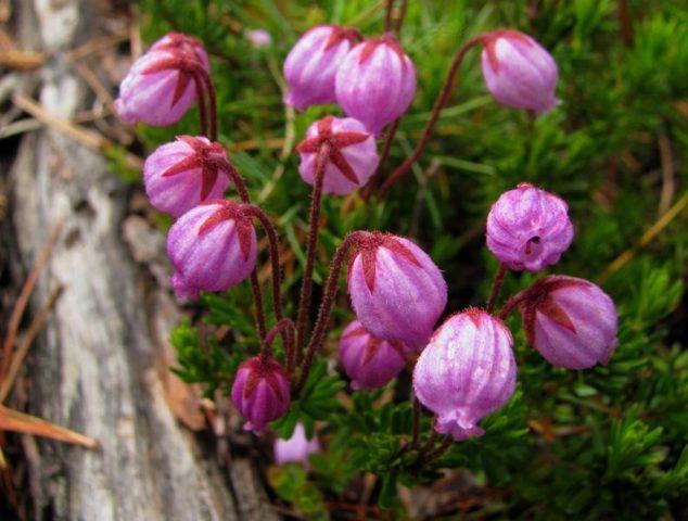 Пурпурные цветки