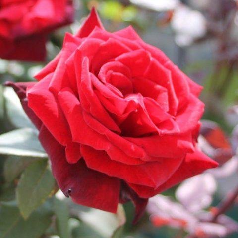 Насыщенные черно-красные цветки