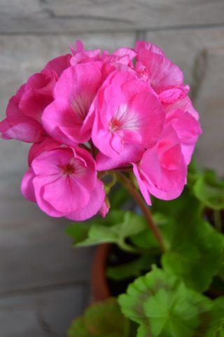 Алые цветки
