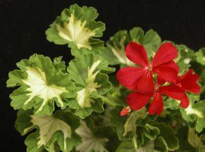 Звездчатые малиновые цветки