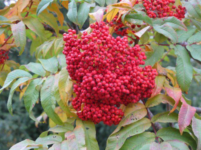 Матово-зеленые перистые листья