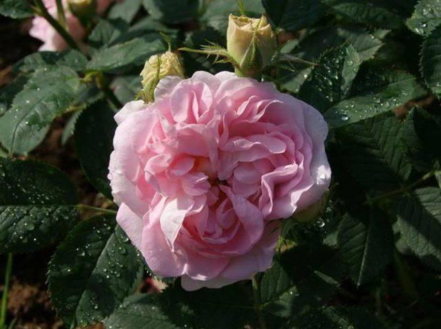 Белые с розовым румянцем лепестки