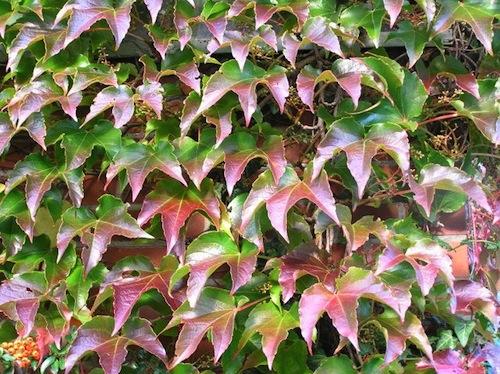 Молодые листья с лиловым оттенком