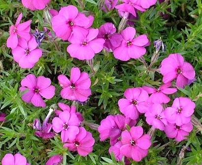 Темно-малиновые цветки