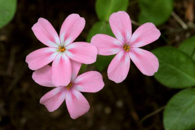 Венчики нежно-розовые