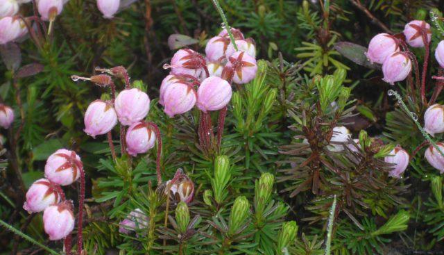 Белые, зачастую с розовым оттенком цветки