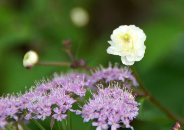 Рыхлые группы махровых белых цветков