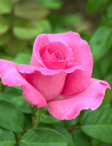 R. The Cartney Rose