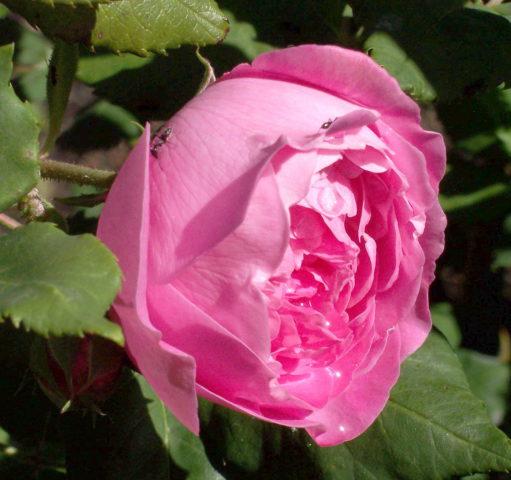 Венчик в виде плотной чашечки, розово-малиновый